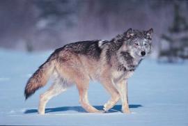 Рис. 3.97. 1 – Волк (Canis lupus).