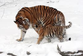 Самка амурского тигра с тигрёнком. Автор: Dave Pape, 2008