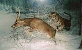 Тигр преследует пятнистого оленя (Cervus nippon). Museum of Natural History in Milan. Автор: Slawojar 小山