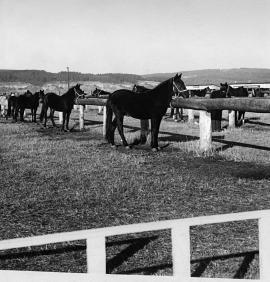 Группа рысистых лошадей