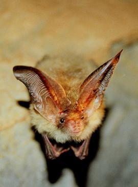 На снимке Ирины Новожиловой (сайт pribaikal.ru) - летучая мышь Большой ушан