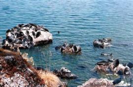 Байкальские нерпы