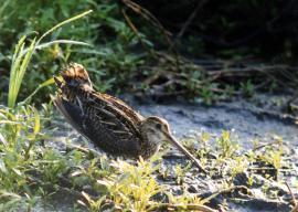 Бекас на болотах в окрестностях Иркутска