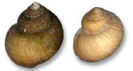 Моллюск Бенедикция байкальская (Benedictia baicalensis) - байкальский эндемик