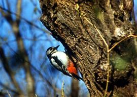 Большой пестрый дятел обследует дерево
