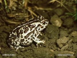 Bufo raddei (Монгольская жаба)