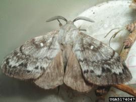 Dendrolimus sibiricus