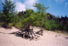 Ходячие деревья: сосны и лиственницы.