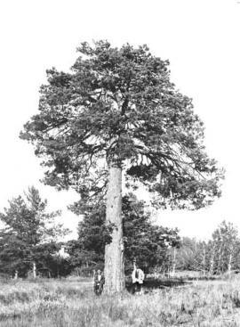 Одинокая сосна на опушке. Иркутская губерния.1914 г.