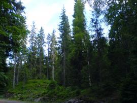Около 66,8 млн. га территории Иркутской области покрыто лесом