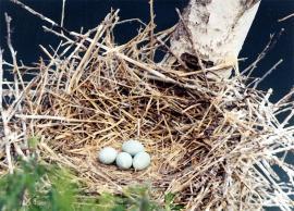 Гнездо большой выпи