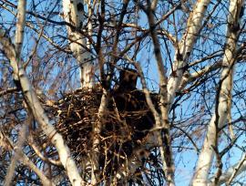 Гнездо черной вороны