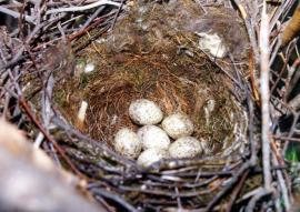 Гнездо голубой сороки