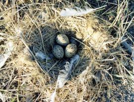 Гнездо хохотуньи