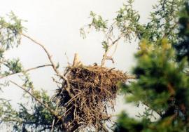 Гнездо орлана-белохвоста