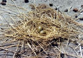 Гнездо озерной чайки на золоотвале