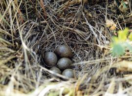 Гнездо полевого жаворонка