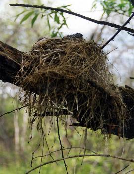 Гнездо рябинника
