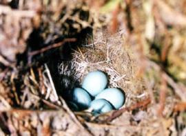 Гнездо синего соловья