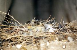 Гнездо скалистого голубя в брошеном здании