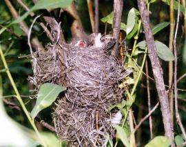 Гнездо урагуса