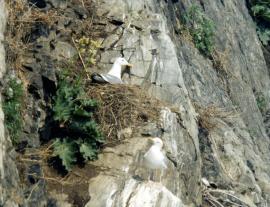 Хохотунья на гнезде (колония на Южном Байкале)