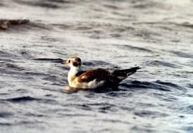 Молодая озерная чайка в дельте Селенги