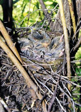 Неоперившиеся птенцы голубой сороки