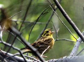 Обыкновенная овсянка начинает петь рано - в конце марта