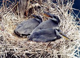 Оперившиеся птенцы серой цапли в гнезде