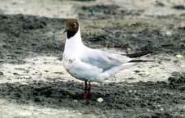 Озерная чайка на отстойниках Иркутска