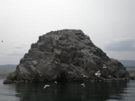 Бакланы и чайки, Байкал