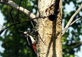 Пестрый дятел у гнезда