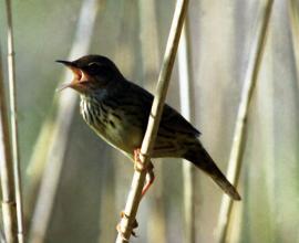 Поющий самец на гнездовом участке