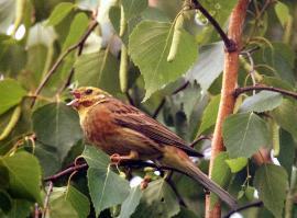 Поющий самец обыкновенной овсянки на гнездовом участке