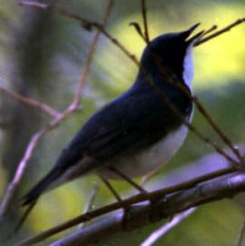 Поющий самец синего соловья в зарослях душекии