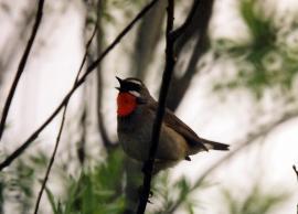 Поющий самец соловья-красношейки