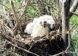 Птенцы ушастой совы в гнезде
