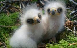 Птенцы орлана