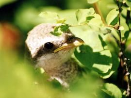 Птенец сибирского жулана