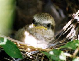 Птенец сибирского жулана в гнезде