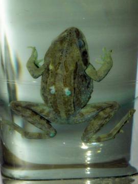 Сибирская лягушка Rana amurensis.