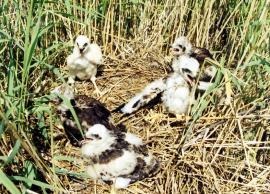 Разновозрастные птенцы болотного луня у гнезда