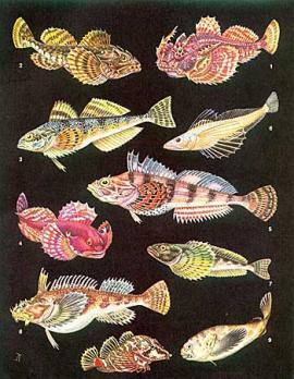 Рогатковые: 1 - рогатый бычок (Enophrys diceraus); 2 - бычок-буйвол (Taurulus bubalis); 3 - шлемоносный бычок (Gymnacanthus herzensteini); 4 - альцихт (Alcichthys elongatus); 5 - получешуйник Гилберта (Hemilepidotus gilberti); 6 - большая  голомянка (Comephorus baicalesis); 7 - желтокрылка (Cottocomephorus grewingki); 8 - волосатка (Hemitripterus villosus); 9 - психролютовый бычок-эбинания (Ebinania vermiculata); 10 - рамфокотта (Rhamphocottus richardsoni).