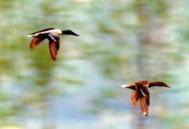 Самец и самка широконоски в полёте