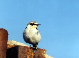 Самец каменки у гнезда, расположенного в трубе