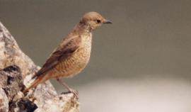 Самец на гнездовом участке