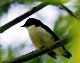 Самец синего соловья на гнездовом участке