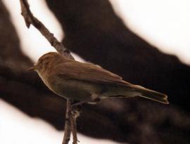 Самец теньковки охраняет гнездовой участок