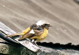 Самец у гнезда